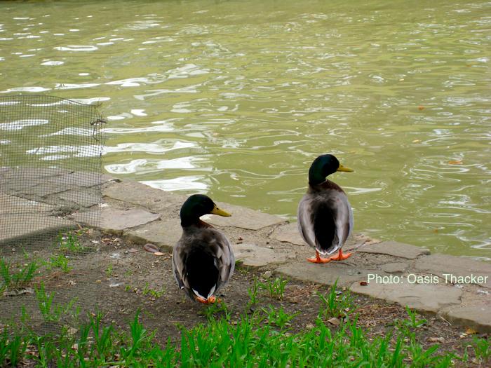 Duck-Pair-1-700-Ann